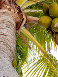 A Coconut Palm Tree Royalty Free Stock Photography