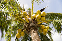Coconut palm tree Royalty Free Stock Photography