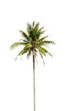 Coconut palm tree, Coco green leaves isolated Royalty Free Stock Image