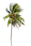 Coconut palm tree, Coco green leaves isolated Stock Photography