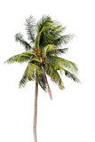 Coconut palm tree, Coco green leaves isolated Royalty Free Stock Photography