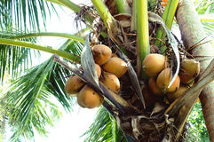 Coconut palm tree. With coconuts Royalty Free Stock Image