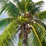 Coconut palm tree with coconuts Stock Photos