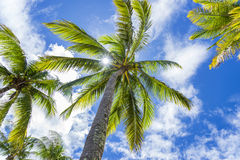 Coconut palm tree, Cocos Nucifera, with green leaves Royalty Free Stock Photography