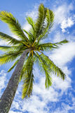 Coconut palm tree, Cocos Nucifera, with green leaves Stock Image