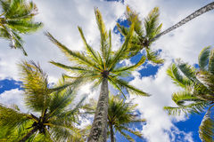 Coconut palm tree, Cocos Nucifera, with green leaves Stock Photography
