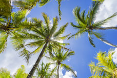 Coconut palm tree, Cocos Nucifera, with green leaves Royalty Free Stock Photos