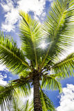 Coconut palm tree, Cocos Nucifera, with green leaves Royalty Free Stock Photo