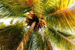 Coconut palm tree Royalty Free Stock Image
