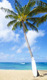 Coconut Palm tree with curfboard in Hawaii Stock Image