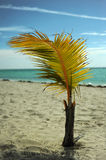 Coconut palm tree at empty tropical beach Stock Images