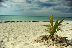 Coconut palm tree at empty tropical beach Stock Image