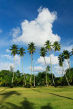 Coconut Palm Tree field Royalty Free Stock Images