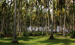 Coconut palm tree forest Royalty Free Stock Photo