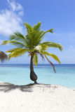 Coconut palm tree front of ocean Stock Photo