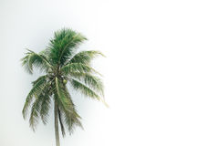 Coconut palm tree with green leaves isolated on white background Royalty Free Stock Photography