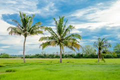 Coconut palm tree in green rice fields Stock Photo