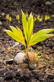 Coconut palm tree growing out of coconut. On a lava field Royalty Free Stock Photo