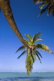 A coconut palm tree hangs over a lagoon Stock Photography