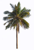 Coconut palm tree isolate on white Stock Image