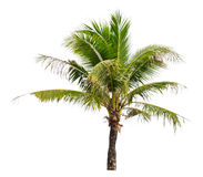 Coconut palm tree. Royalty Free Stock Photography