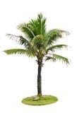 Coconut palm tree. Stock Image