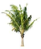 Coconut Palm tree Royalty Free Stock Photo