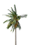 Coconut palm tree Stock Photos