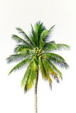 Coconut palm tree isolated Stock Images
