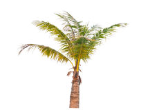 Coconut palm tree. Royalty Free Stock Image