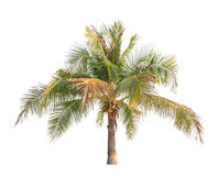 Coconut palm tree isolated on white Royalty Free Stock Image