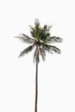 Coconut  palm tree on isolated white background. Coconut palm tree on isolated white background Royalty Free Stock Image