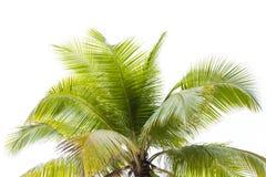 Coconut palm tree isolated on white background. Coconut palm tree isolated on white background Royalty Free Stock Image