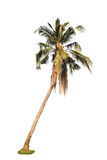 Coconut palm tree isolated on white background. Royalty Free Stock Photography