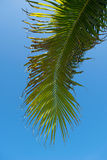 Coconut Palm Tree Leaf and blue sky background Royalty Free Stock Images