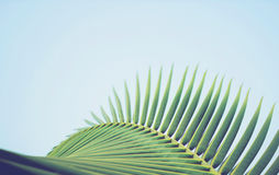 Coconut palm tree leaf vintage filter Royalty Free Stock Photo