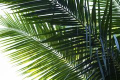 Coconut palm tree leaf vivid toned photo. Coco leaf closeup. Abstract coco palm leaf background. Stock Photography