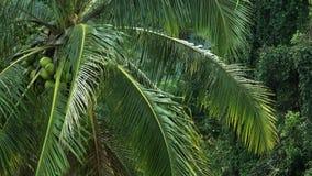Coconut palm tree. stock video