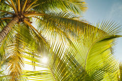 Coconut palm tree leaves in sunlight Stock Photo