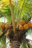 Coconut Palm. A coconut palm tree loaded with coconuts royalty free stock images
