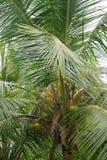 Coconut palm tree. Royalty Free Stock Image