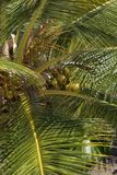 Coconut palm tree on  Mauritius. Closeup of coconut tree with green leafs Royalty Free Stock Photo