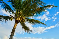 Coconut palm tree in Mayan Riviera. Maya of Mexico Stock Image