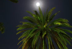 Coconut Palm Tree by Moonlight 2 Royalty Free Stock Images