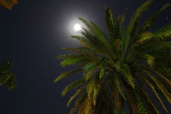 Coconut Palm Tree by Moonlight Stock Image