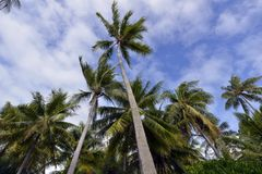 Coconut Palm Tree Moorea Beach French Polynesia Stock Photos