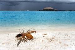 Coconut palm tree with a nut lies on sand by  sea Royalty Free Stock Photography
