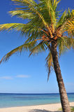 Coconut palm tree and ocean. Coconut palm tree on a sandy beach by the ocean in the Caribbean Stock Photography