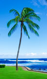 Coconut Palm tree by the ocean in Hawaii, Kauai Stock Photography