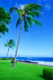 Coconut Palm tree by the ocean in Hawaii, Kauai Stock Images